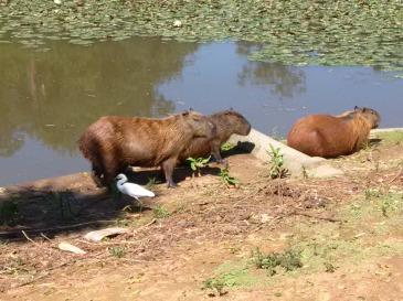 Is it capybaras? Please let it be capybaras.